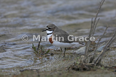 Male Banded Dotterel (Charadrius bicinctus bicinctus), Lake Pukaki, Canterbury, South Island, New Zealand