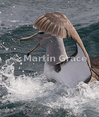 Salvin's Mollymawk (Buller's Albatross) (Thalassarche salvini), Stewart/Rakiura & Ulva Islands, South Island, New Zealand