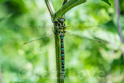Migrant hawker, Aeshna mixta, large dragonfly sitting on plant stamen.