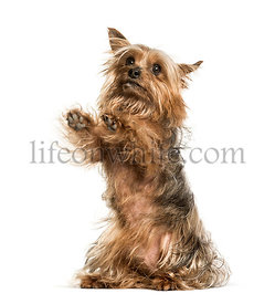 Yorkshire terrier against white background