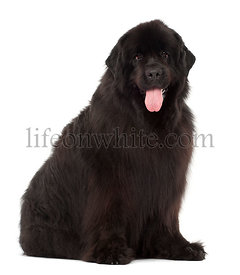 Newfoundland, 4 years old, sitting against white background
