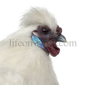 White Silkie Hen isolated on white