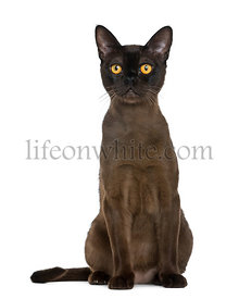 Bombay cat sitting, isolated on white