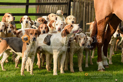 Cottesmore hounds at the meet - The Cottesmore Hunt at the kennels 31/10