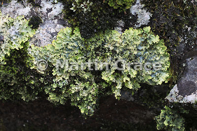Pseudocyphellaria colensoi lichen, Governor's Bush Track, Mount Cook National Park, Canterbury, South Island, New Zealand