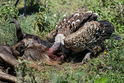 Ruppells Vulture eating, Serengeti, Tanzania