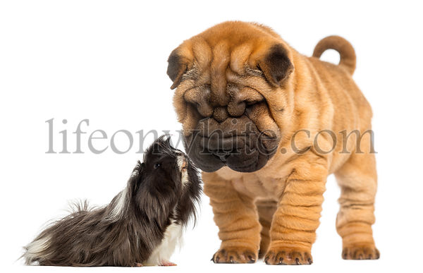 Shar Pei puppy looking down at a guinea pig, 2 months old, isolated on white