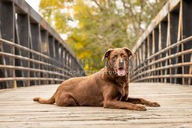 A chocolate lab on a bridge in fall