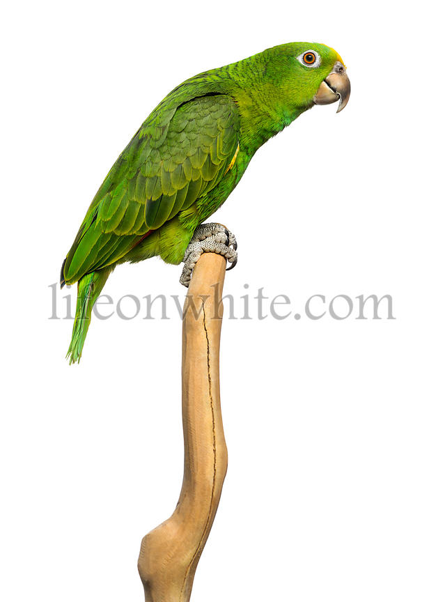 Panama Yellow-headed Amazon (5 months old) perched on a branch, isolated on white