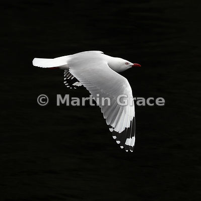 High-contrast image of a Red-Billed Gull (Larus novaehollandiae scopulinus) in flight, Doubtful Sound, Fiordland, South Islan...