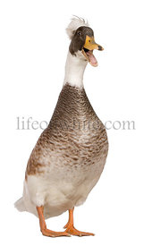 Male Crested Duck, 3 years old, standing in front of white background