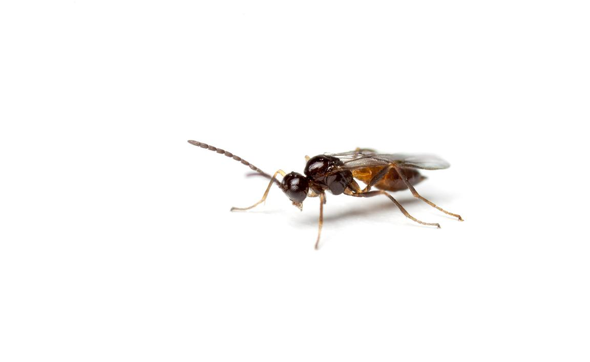 Parasitoid wasp
