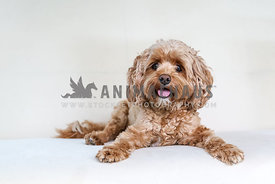 small breed dog looks at camera on a white background