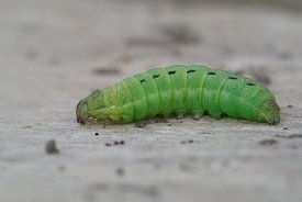 Closeup of the green caterpillar of  large or common yellow underwing , Noctua pronuba