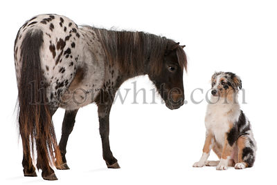 Appaloosa Miniature horse, Equus caballus, 2 years old,  and Australian Shepherd puppy, 4 months old, in front of white backg...