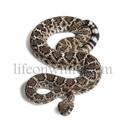 Crotalus atrox, western diamondback rattlesnake or Texas diamond-back, venomous snake looking at camera against white background