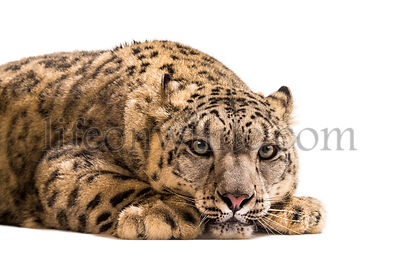 Snow leopard, Panthera uncia, also known as the ounce lying down against white background