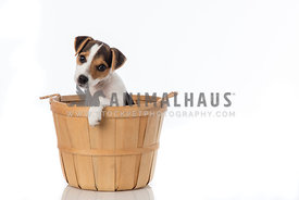 Jack Russel Terrier Puppy in wooden basket on white background