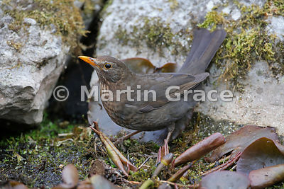 Female Common Blackbird (Turdus merula) standing on vegetation in the garden pond, Lake District National Park, Cumbria, England
