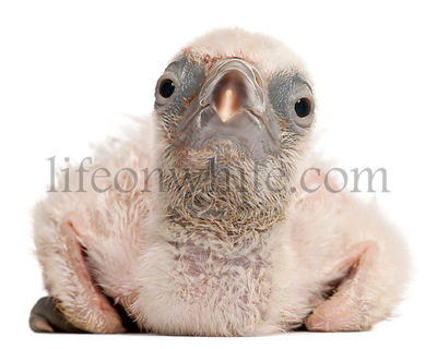 Griffon Vulture, Gyps fulvus, 4 days old, in front of white background