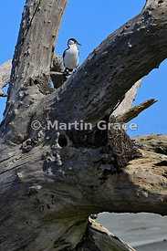 Pied Shag (Phalacrocorax varius varius) perching on a dead, washed-up tree, Farewell Spit, Golden Bay, South Island, New Zealand