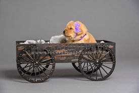newborn golden retriever puppy sitting in rustic wagon wearing purple headband and collar