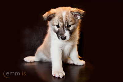 Hvolpar_-_Icelandic_Sheepdog_puppies_emm.is