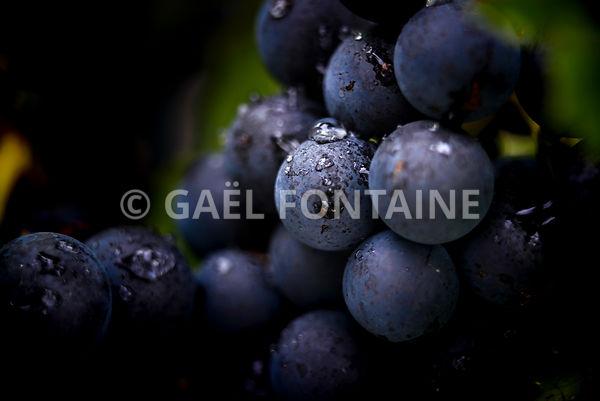 Grappe de gamay dans les vignes, Beaujolais, France