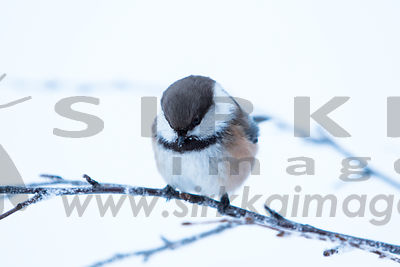 Grey-headed chickadee aka Siberian Tit