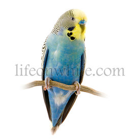 blue and yellow budgie