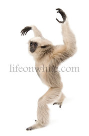Young Pileated Gibbon, 1 year old, Hylobates Pileatus, walking