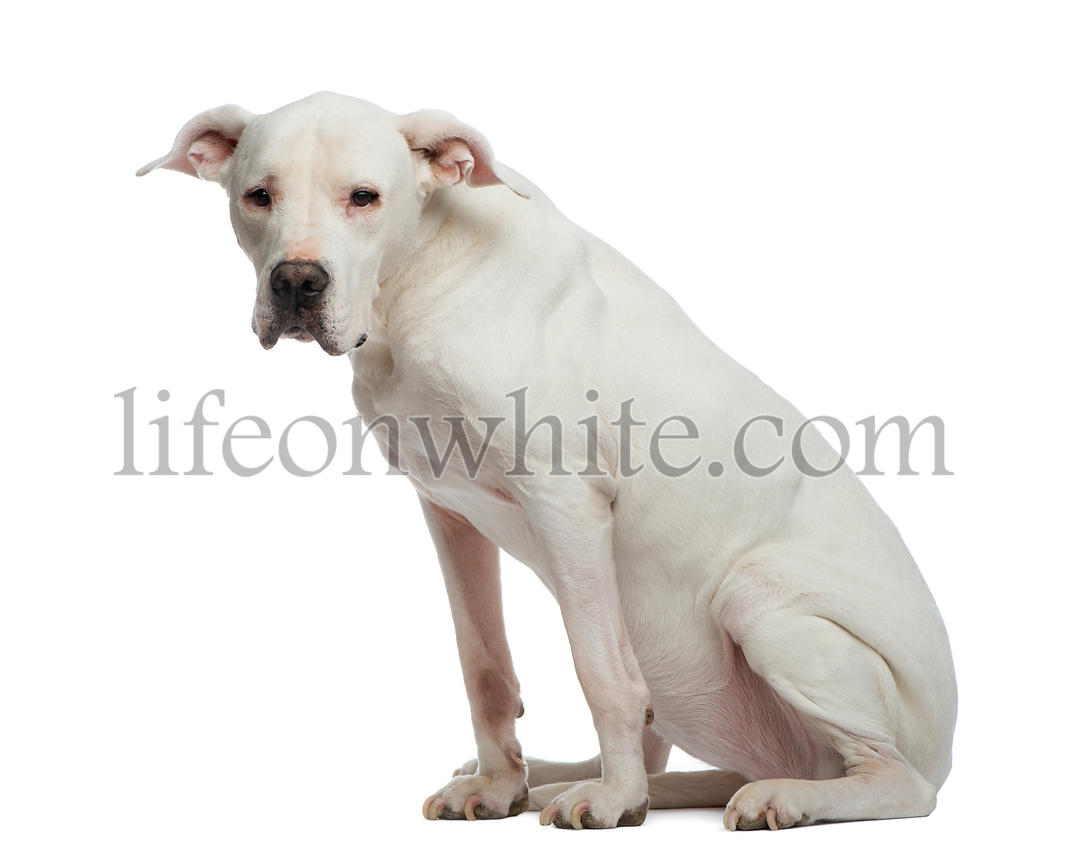 Depressive Dogo Argentino (sitting and looking away