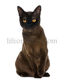 Bombay cat sitting and looking at the camera, isolated on white