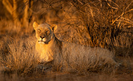 Lioness at Sunset, Erindi Game Reserve