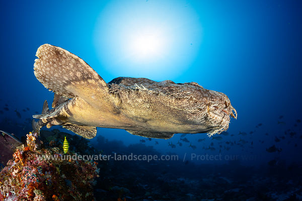 A Wobbegong against the light