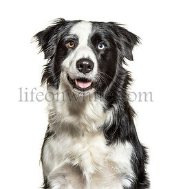 Close-up on a Panting black and white Border Collie, minnow eyes, isolated