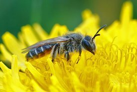 Closeup of a female red bellied miner, Andrena ventralis on yellow flower of a dandelion, Taraxacum officinale
