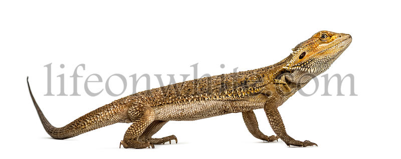 Side view of a bearded dragon, isolated on white