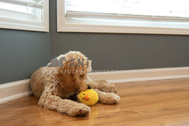 A golden doodle puppy playing with a toy