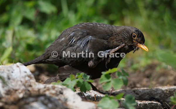Female Common Blackbird (Turdus merula) scratches as she preens after bathing, Lake District National Park, Cumbria, England