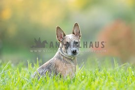 red heeler puppy sitting in grass