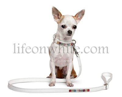 Chihuahua puppy (6 months old) sitting with its leash in front of white background