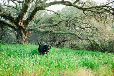 A black lab standing in tall grasses under a large tree