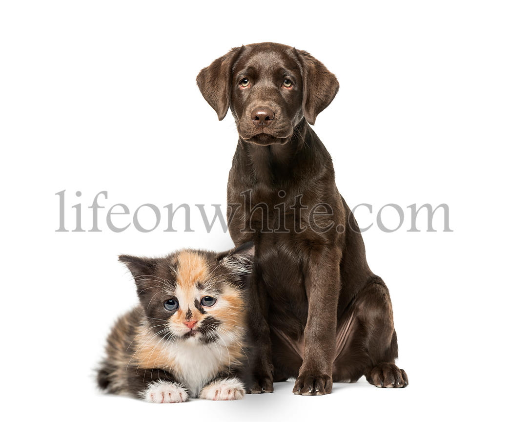 Puppy Labrador Retriever sitting, European Shorthair kitten, in front of white background