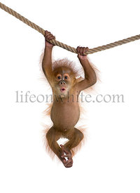 Baby Sumatran Orangutan (4 months old), hanging on a rope