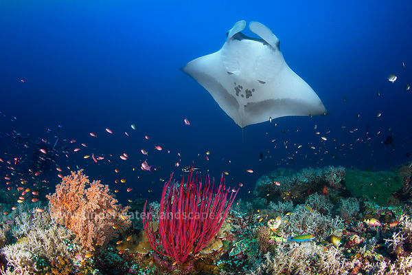 Ocean Manta Ray on the reef