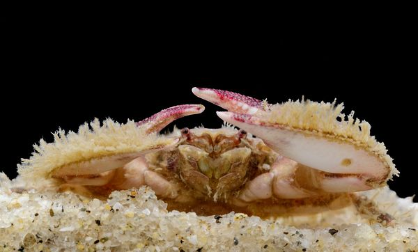 Broad-clawed porcelain crab