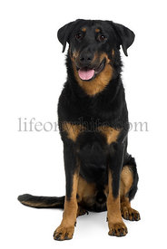 Beauceron sitting and panting in front of a white background