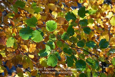 Prints & Stock Image - Beech tree leaves in autumn, Darnaway, Moray, Scotland.