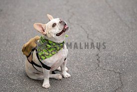 french bulldog wearing bandana and backpack